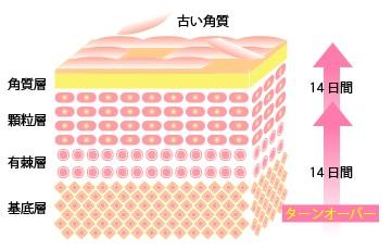 肌のターンオーバーの過程